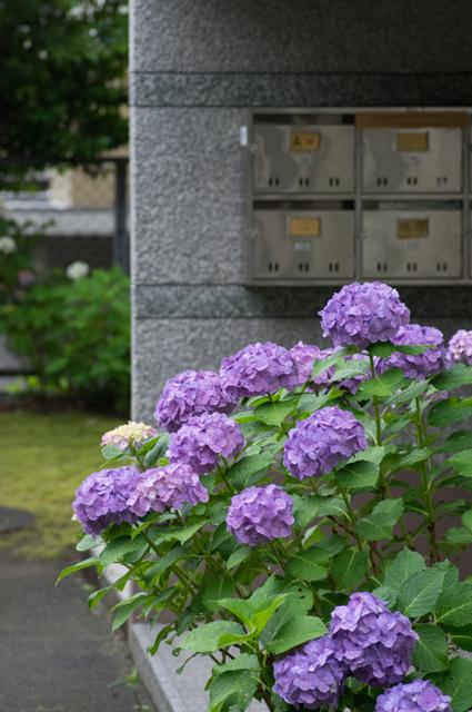 紫陽花 in 団地