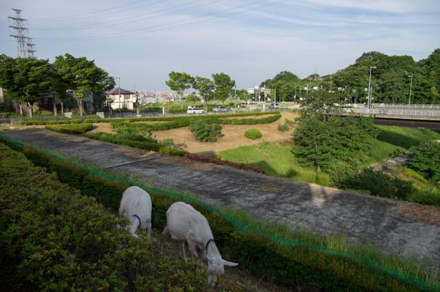 山羊@風景
