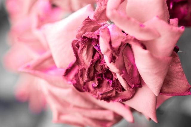 朽ちゆく薔薇・1